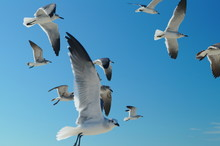 Flock Of Seagulls Holbox Mexico 00