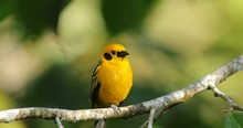 Golden Tanager, Tangara Arthus, Exotic Tropical Blue Bird With Gold Head From Ecuador. Tanager Sitting On The Branch. Green Mossy Stick In The Forest With Bird. Wildlife Scene From Nature.