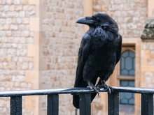 Black Raven At The Tower Of London, UK