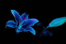 Ultraviolet UV Purple Sage