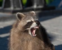 A Racoon Showing Its Teeth