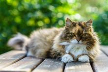 Long Hair Cat Posing To Camera At Garden Top Off Wood Table