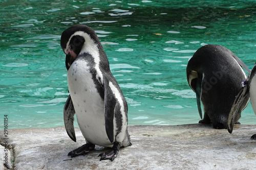 Carta da parati Adorable Humboldt penguins at the zoo