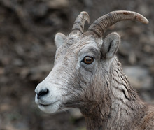 A Close Up Of A Big Horned Sheep