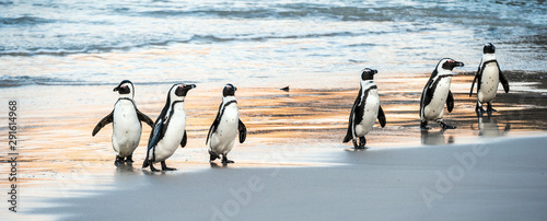 Canvas Print African penguins walk out of the ocean to the sandy beach