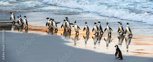 Fotomural African penguins walk out of the ocean to the sandy beach