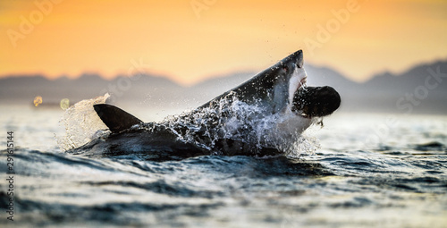 Cadres-photo bureau Beige jumping Great White Shark. Red sky of sunrise. Great White Shark breaching in attack. Scientific name: Carcharodon carcharias. South Africa.