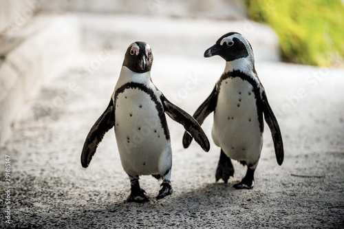 Fotobehang Pinguin African penguins. African penguin also known as the jackass penguin, black-footed penguin. Scientific name: Spheniscus demersus. Boulders colony. South Africa