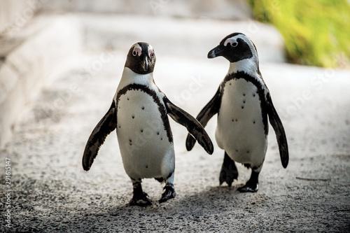 Fond de hotte en verre imprimé Pingouin African penguins. African penguin also known as the jackass penguin, black-footed penguin. Scientific name: Spheniscus demersus. Boulders colony. South Africa