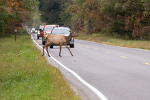 Cow Elk Crossing The Road