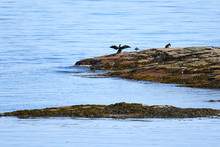 Cormorant Resting On A Rock On The Saint Laurent River Nearby Tadoussac
