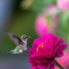 Closeup Of A Hummingbird In Th...
