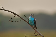 Blue Budgerigar Or Budgerigar (melopsittacus Undalatus) In Wild In The Countryside Of India .this Australian Bird Is Popular As Pet Bird In India, Somehow This Bird Came Out Of The Cage