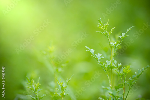 Coriandrum spp on green nature background and morning sunlight at organic farm Canvas Print