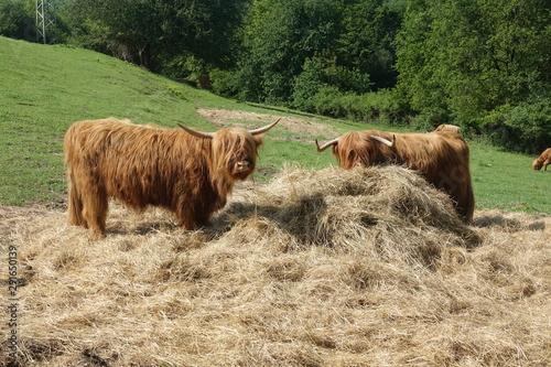 Deurstickers Schotse Hooglander Schottisches Hochlandrind