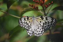 Rice Paper Butterfly With His ...