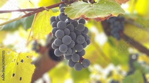 Obraz na plátně Closeup  image  Autumn Royal Grapes on autumn season in a vineyard in Transylvan
