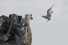 Anflug Mit Geschrei - Möven An Einer Felsklippe, An Der Sie Brüten, Alaska