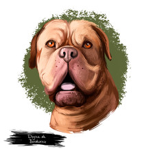 Dogue De Bordeaux, Bordeaux Mastiff, French Mastiff Dog Digital Art Illustration Isolated On White Background. French Origin Guardian Dog. Cute Pet Hand Drawn Portrait. Graphic Clip Art Design.