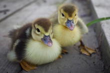 Baby Muscovy Ducklings