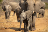 Breeding herd of elephant moving into the shade of a tree to rest up in the heat of spring