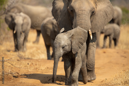 Fotobehang Olifant Breeding herd of elephant moving into the shade of a tree to rest up in the heat of spring