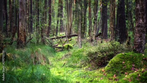 Spruce Tree Forest, Sunbeams through Fog illuminating Moss and Fern Covered Forest Floor, Creating a Mystic Atmosphere