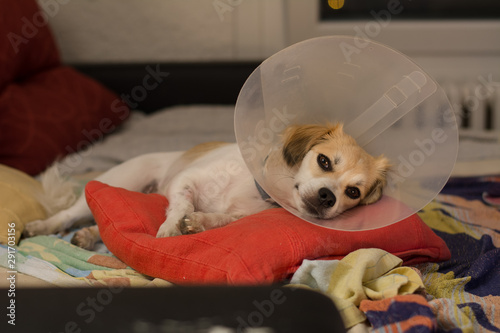 Fotografering Little dog wearing collar neck in the shape of a cone for protection its to scra