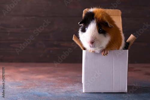 Fotomural Teddy guinea pig climbing on box in front of dark stone background