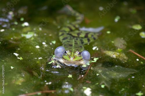 Recess Fitting Frog Groene kikker blaast zijn wangen