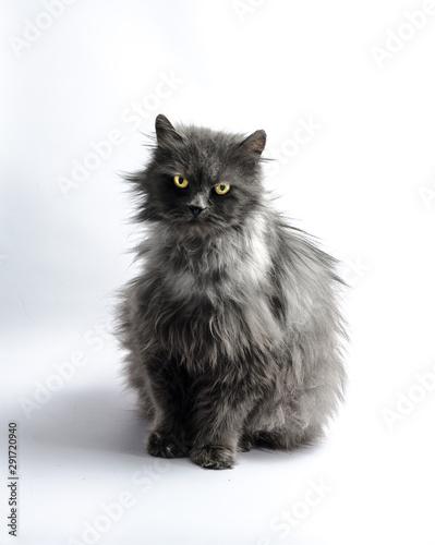 black shaggy longhair yellow-eyed cat looks reproachfully Canvas Print