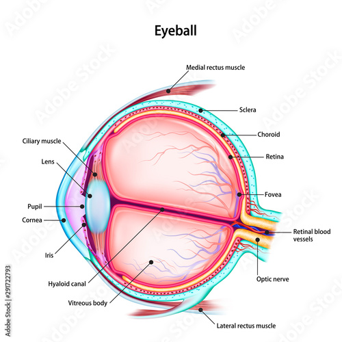 Cuadros en Lienzo Structure of the human eyeball with the name and description of all sites