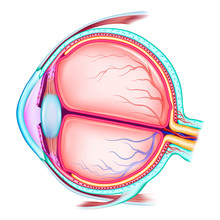 The Human Eye. The Structure O...