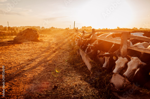 Foto auf AluDibond Rot kubanischen Cows grazing on farm yard at sunset. Cattle eating and walking outdoors.