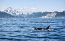 Killer Whale - (Orcinus Orca)....