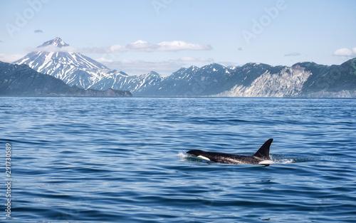 Obraz na plátně Killer Whale - (Orcinus Orca)