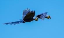 Hyacinth Macaws In Pantanal, B...