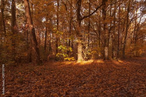 Fototapeta  Laubbedeckter Waldboden mit einem von der Sonne angestrahlten Baumstamm im Hinte