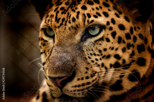 Papiers peints Leopard The portrait of Javan leopard