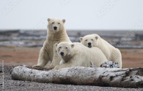 Polar bear in Alaska, USA