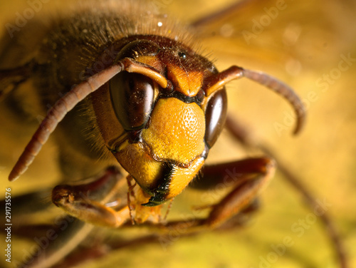 Fototapeta  Head of an asian hornet invading France