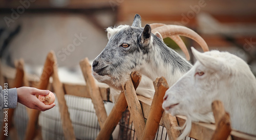 Portrait of white and gray goats Canvas Print