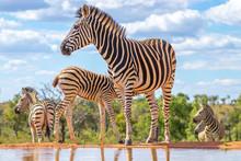 A Zebra (Equus Quagga) Drinkin...