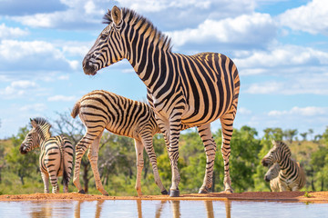 FototapetaA zebra (Equus quagga) drinking at a waterhole, Welgevonden Game Reserve, South Africa