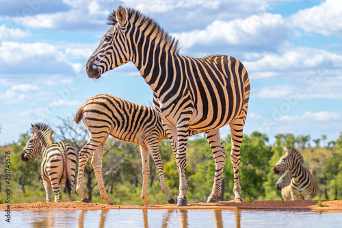 A zebra (Equus quagga) drinking at a waterhole, Welgevonden Game Reserve, South Africa - 291745578