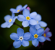 Woodland Forget-me-not Purple Flower