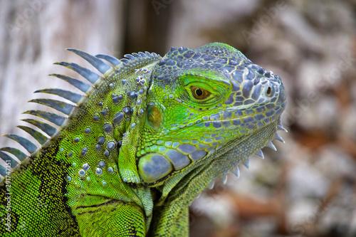 Photo sur Toile Pays d Asie Neon Green Iguana Close up