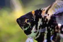 Aquarium Fish. Pterophyllum Sc...