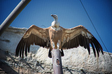 The Griffon Vulture (Gyps Fulvus) Is A Large Old World Vulture Breed In The ZOO