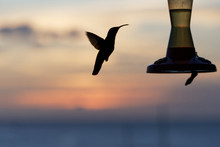 Hummingbird Silhouette At The ...